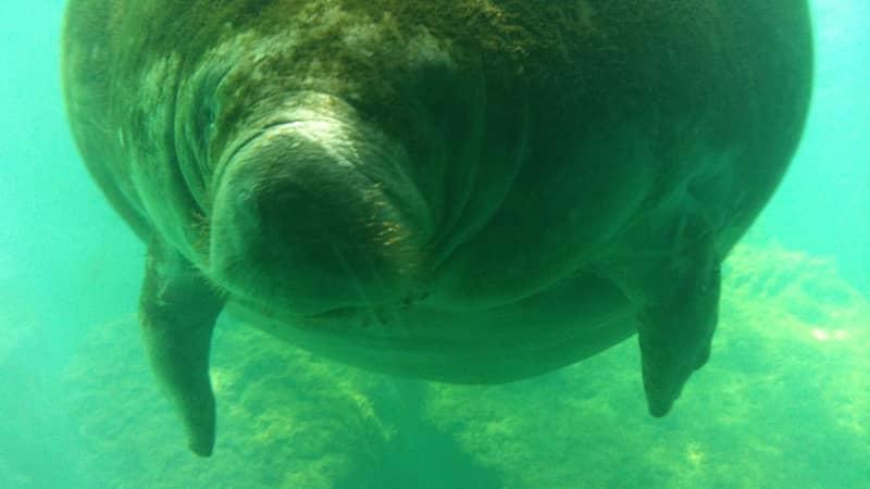 Manatee encounters are popular in Florida.
