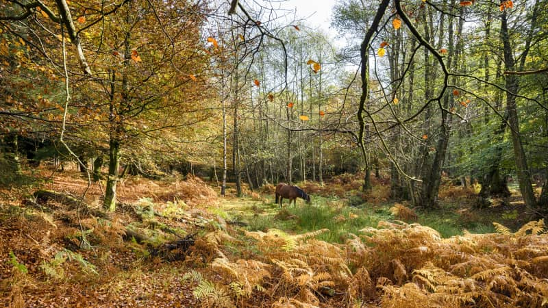 The New Forest is home to the largest concentration of ancient trees in Western Europe.