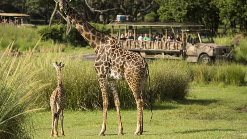 Human caregivers will stay with their animal charges at Disney's Animal Kingdom.