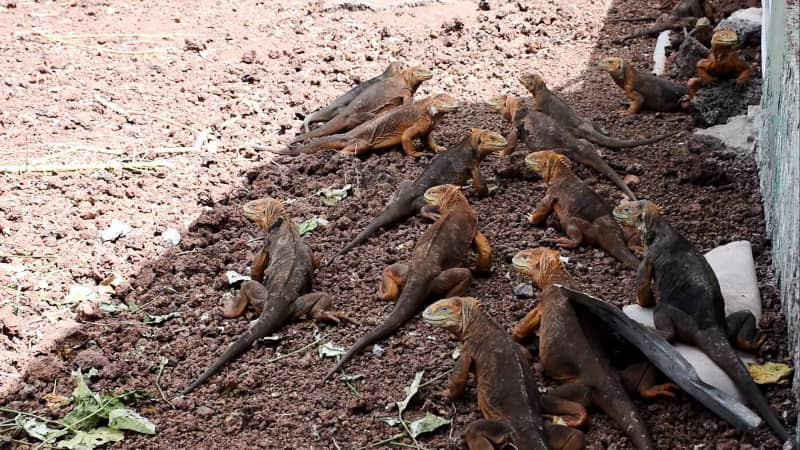 More than 1,000 iguanas were relocated from the Galapagos' North Seymour Island by the national park authority.