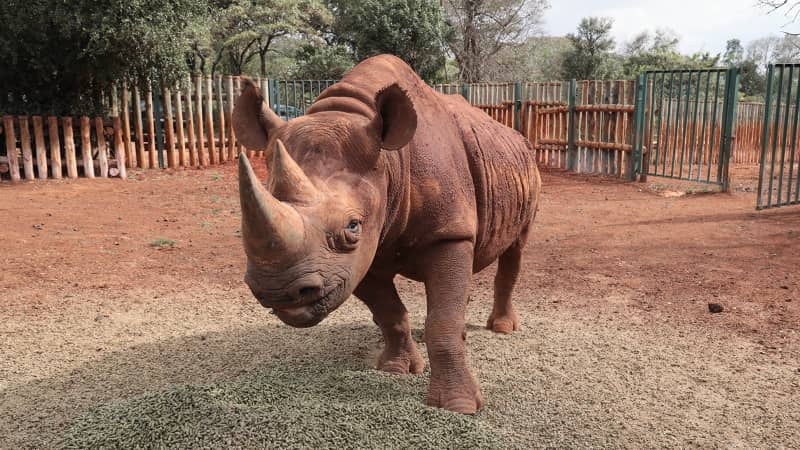 Maxwell, a blind rhino, is a permanent resident at the nursery.