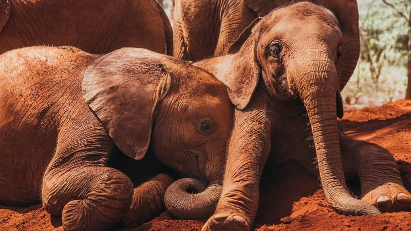 The Kenyan mud makes the elephants' naturally gray hides appear red.