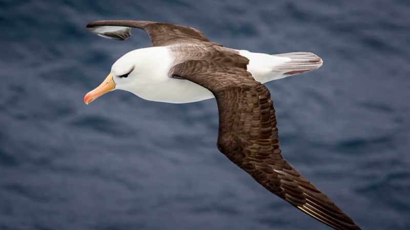 The airplane's flapping wing tips are inspired by the albatross.