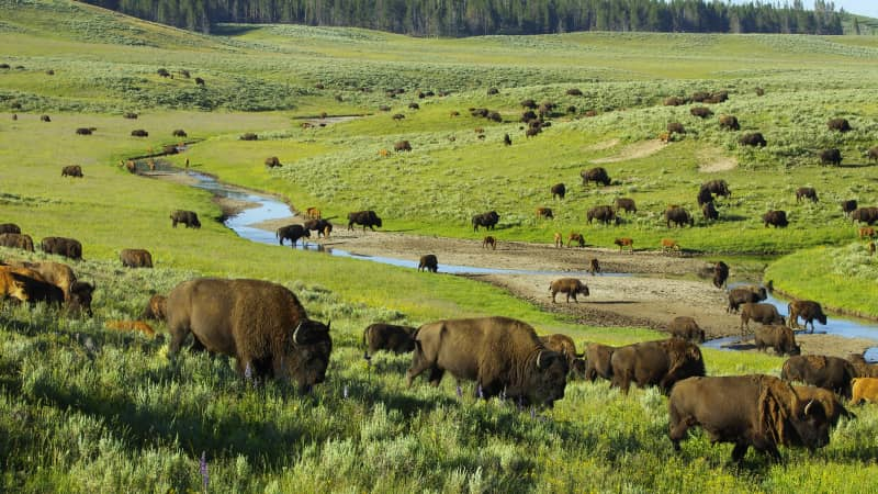A herd of bison gather in the Hayden Valley at Yellowstone National park.