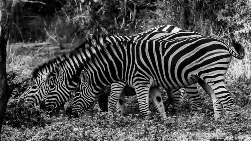 Zebras at Karongwa game reserve.