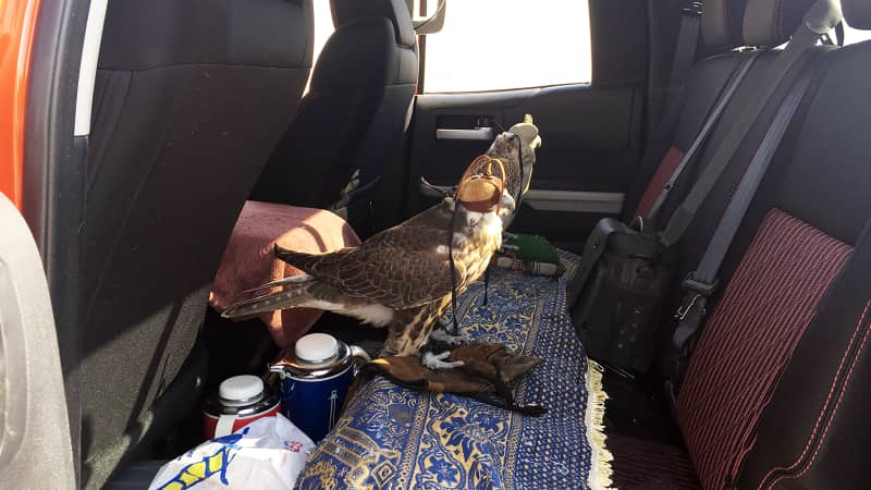 Hunting with falcons in Abu Dhabi