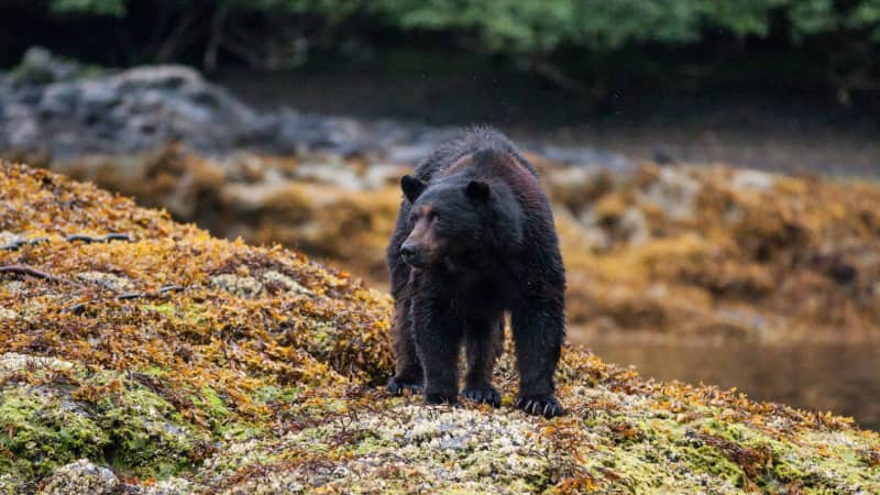 Haida Gwaii Black Bear, recognized by its over-developed skull and strong jaws, is the largest of its kind in the world.