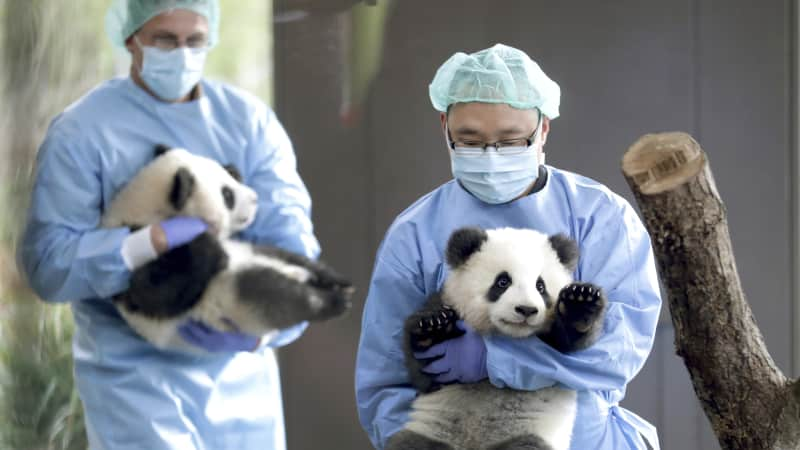 Two zoo keepers carry the young panda twins at the Berlin Zoo.