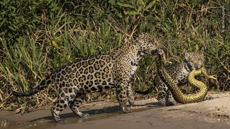 Two jaguars hold a snake in Brazil, in a shot that came highly commended.