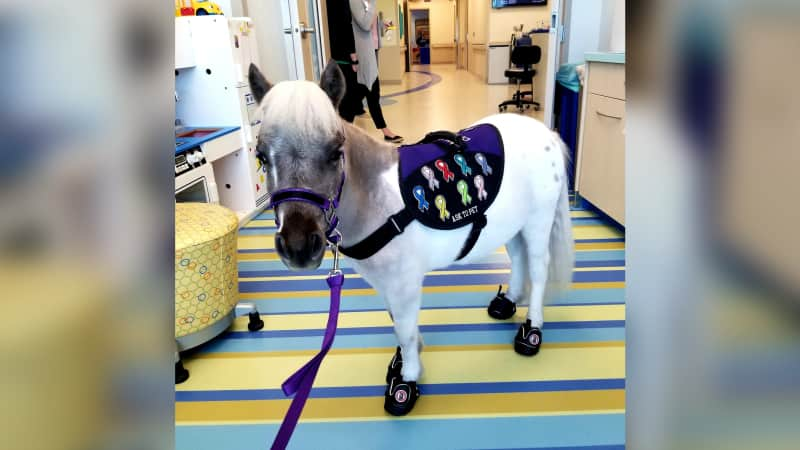 Fred visiting a local hospital as a therapy horse.