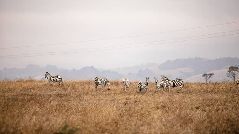 The now-wild zebras of San Simeon grazing along Highway 1 (in view of the Pacific, and just south of Hearst property).