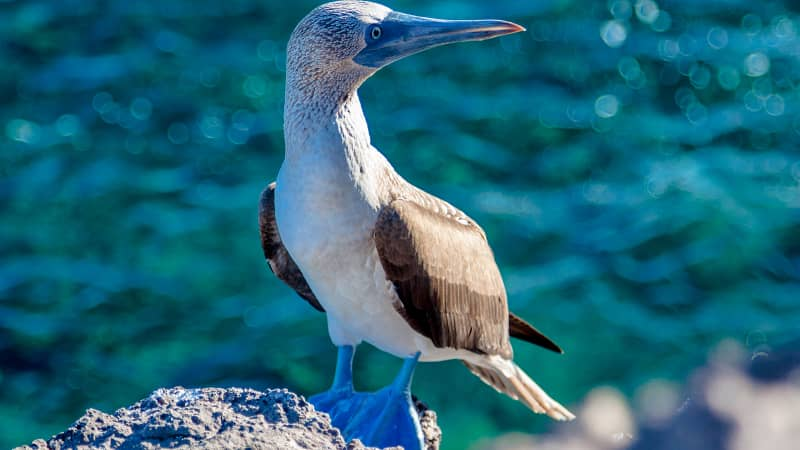 The Galapagos draws visitors with its amazing diversity of wildlife -- including the blue-footed boobie.