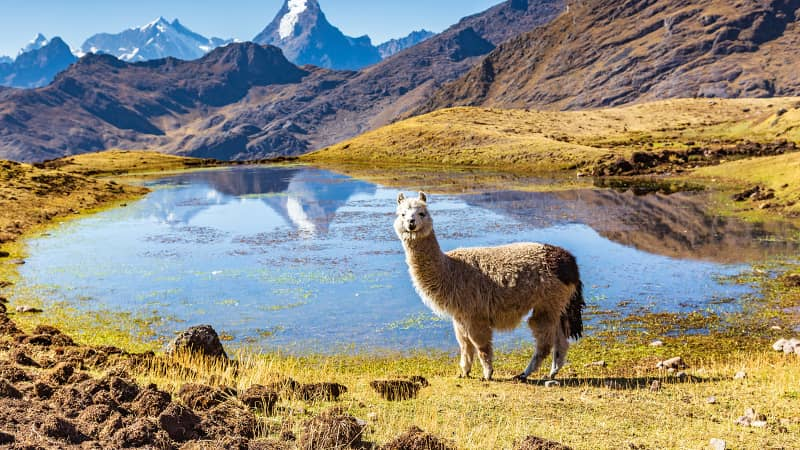 The couple's travels have included scenic alpaca encounters in the Andes of Peru.