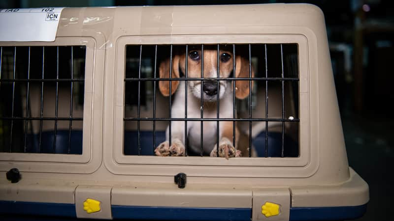 More than 100 dogs rescued from South Korea's dog meat trade arrive at Dulles International Airport in June this summer.