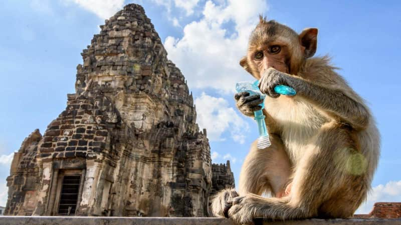 A macaque drinks from a plastic container in front of Lopburi's Prang Sam Yod temple in June.