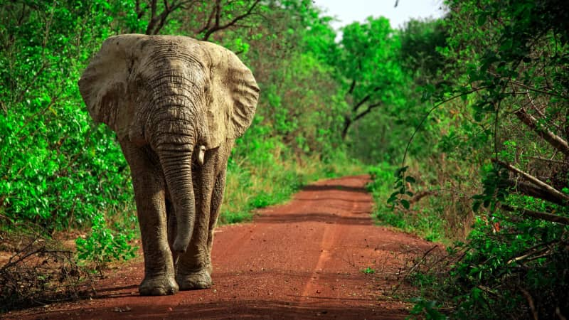 Mole National Park is home to African elephants, kob antelopes, buffaloes, baboons and even warthogs.