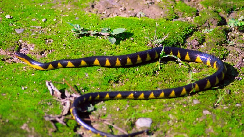 A Natricine snake was one of nine new snake species described in 2020.