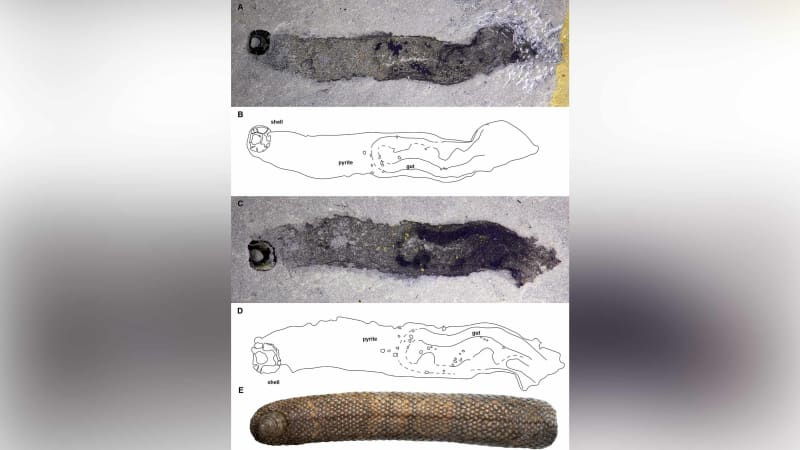 An armored slug, or Armilimax pauljamisoni, is shown here.