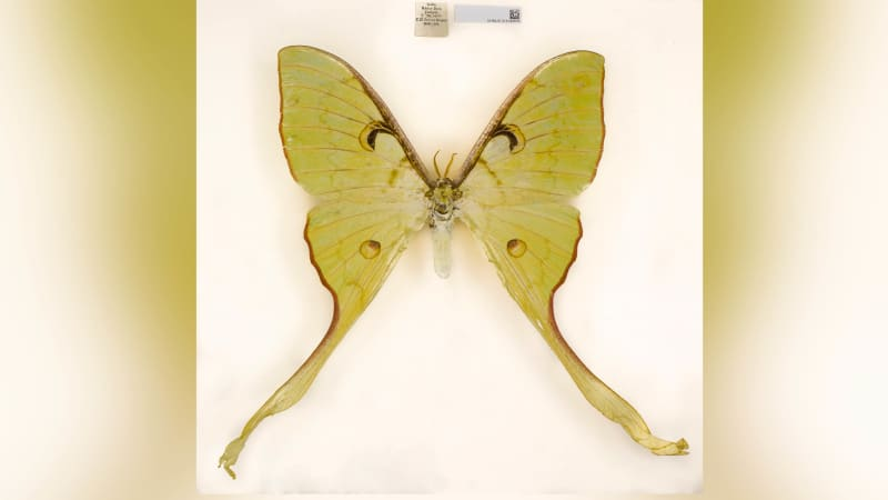 Actias keralana is a moth found in India.
