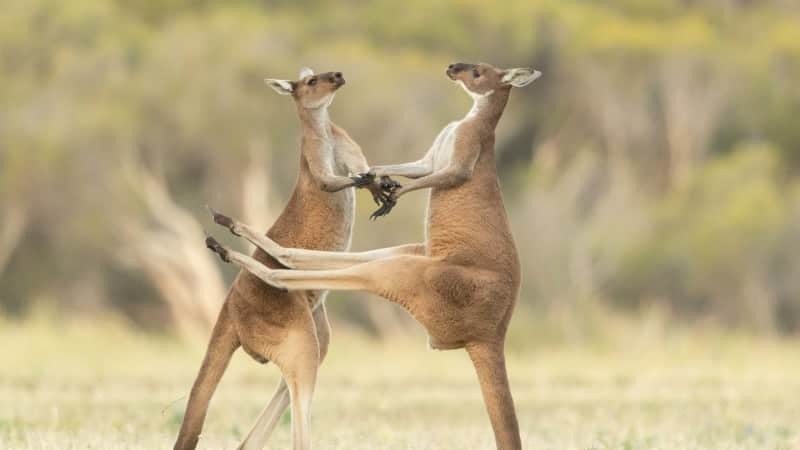 Two kangaroos fighting in Perth, Western Australia.