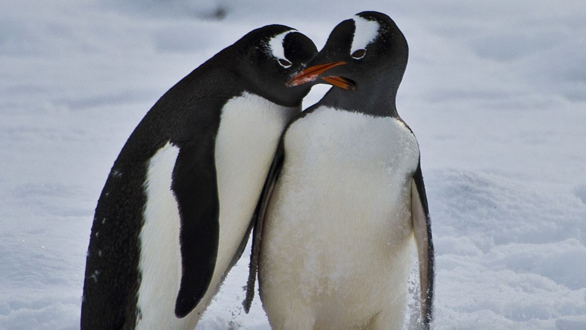 Penguins Originated In Australia And New Zealand Not The Antarctic New Study Finds Cnn