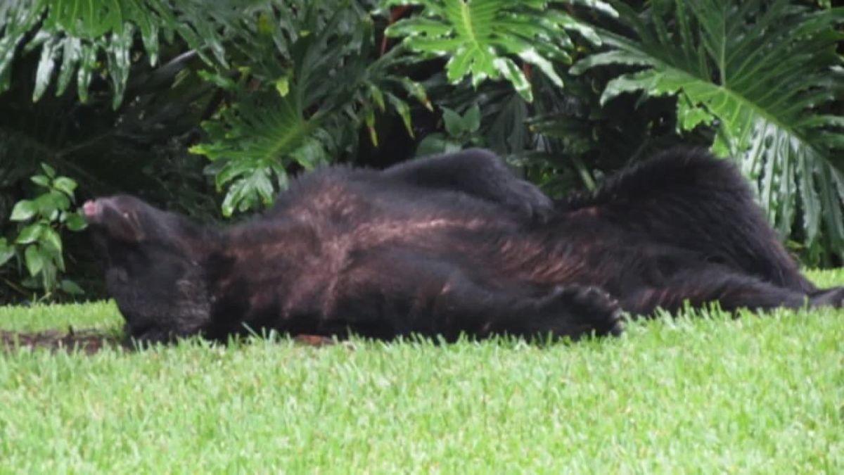 Bear falls asleep in neighborhood yard after eating