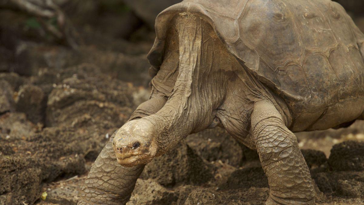 Kết quả hình ảnh cho diego tortoise