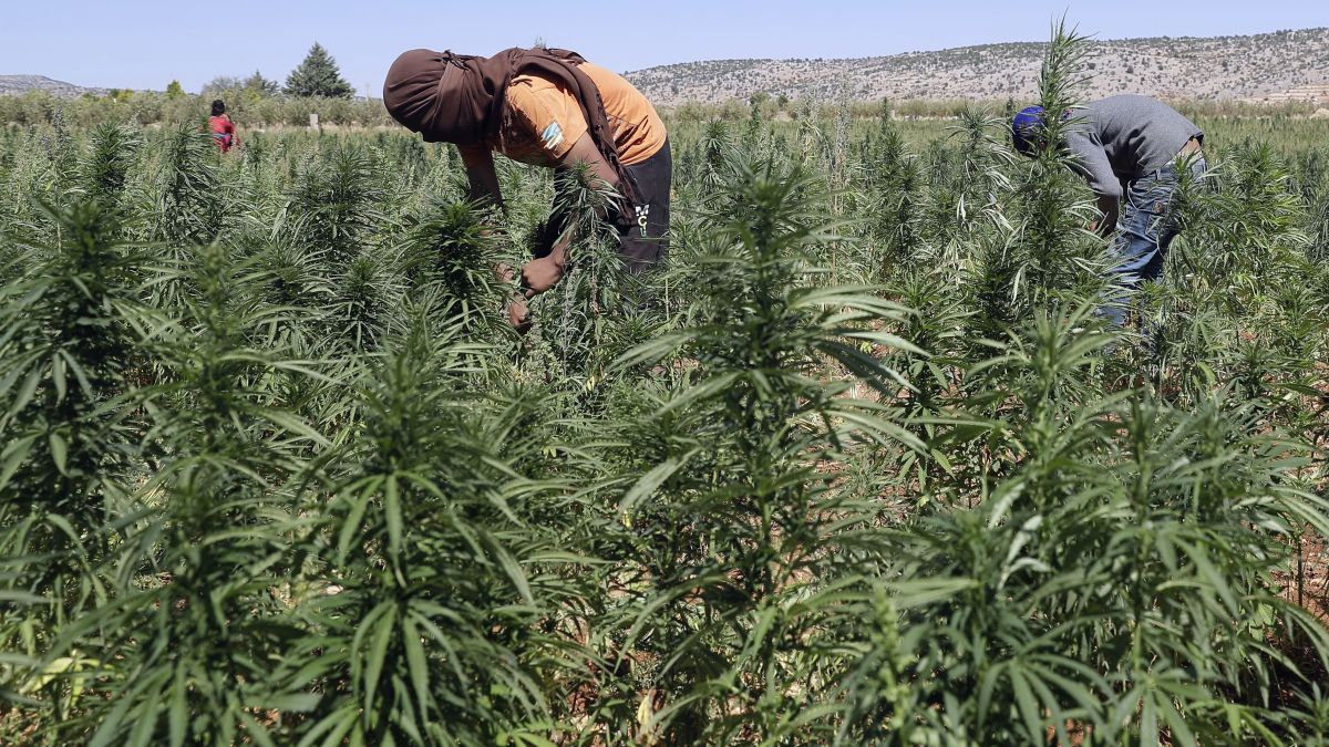 cnn.com - Tamara Qiblawi, CNN Video by Richard Harlow, CNN - Climate change turns Mideast breadbasket into cannabis farm