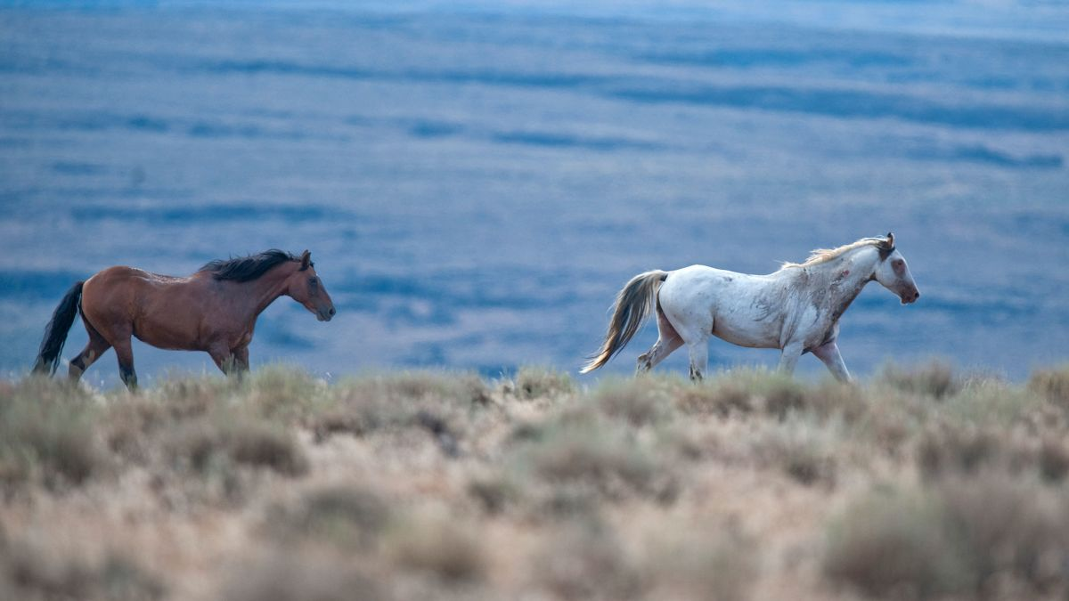 California Wild Horse Roundup Some Might End Up In Slaughterhouses Cnn