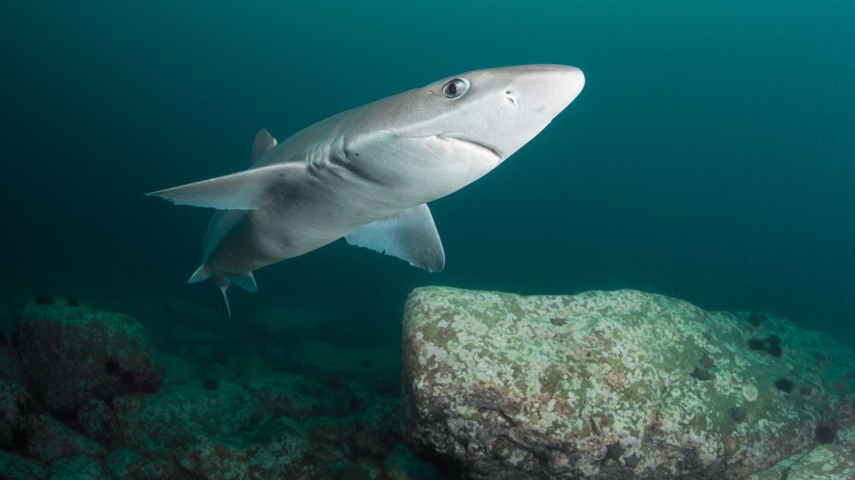 Endangered shark species are being sold in fish and chip