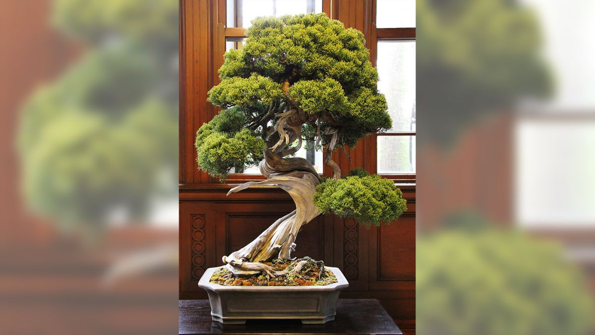 Bonsai Thief Steals 118 000 Of Tiny Trees Including Prized 400 Year Old Juniper