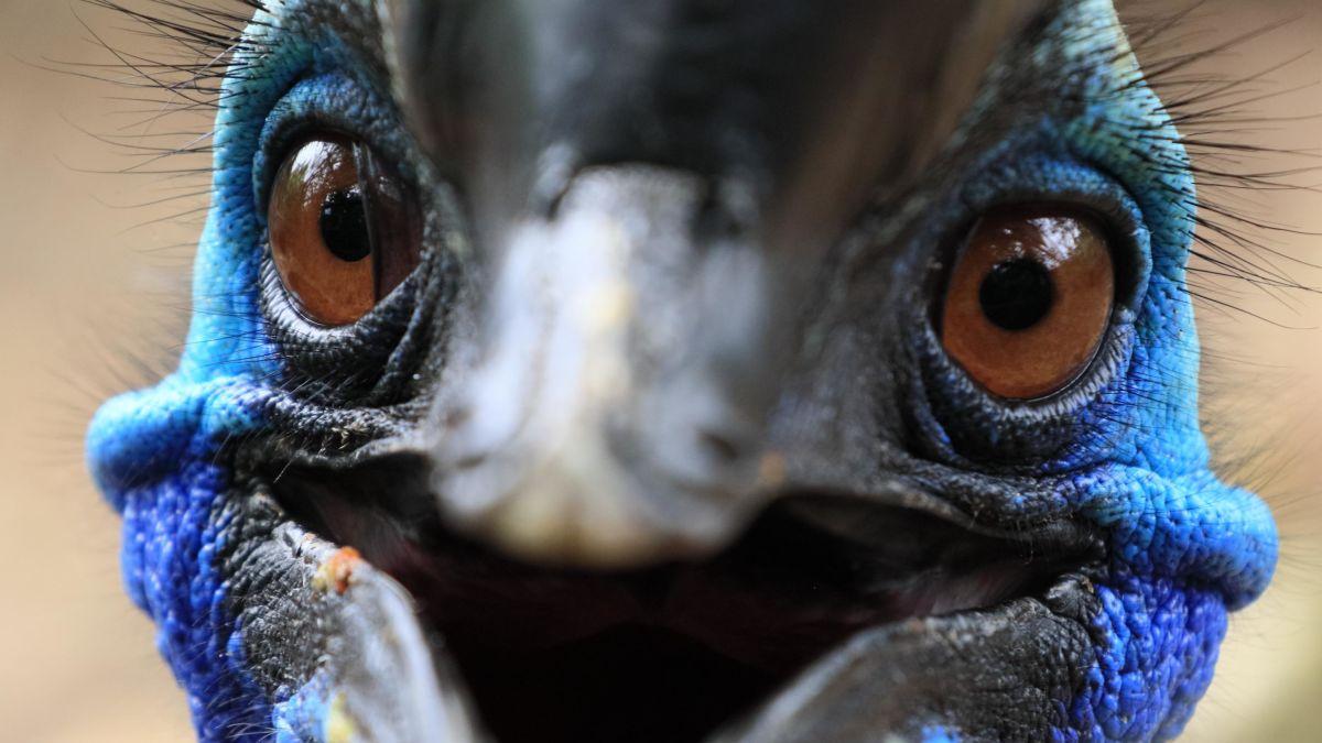 The cassowary bird: How the world's most dangerous bird got its ...