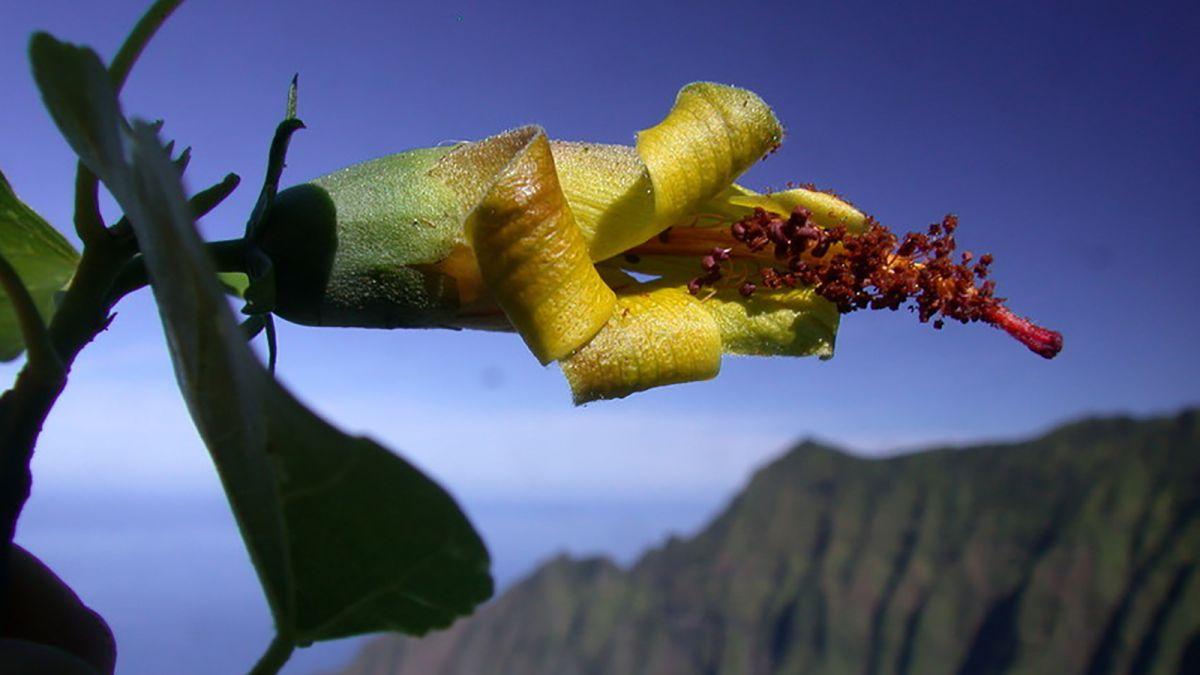 cnn.com - By Lauren M. Johnson, CNN - Hawaiian flower, thought extinct, rediscovered by a drone