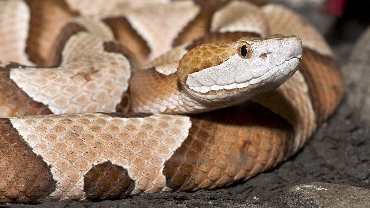 Copperhead snake bites Pennsylvania woman as she goes to do