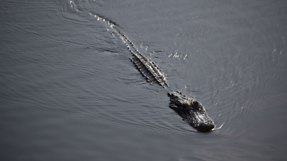 Alligators in Florida are climbing fences and swimming across roads - CNN
