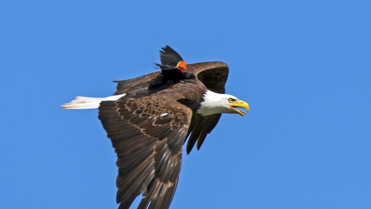 A Blackbird Hopped On The Back Of A Bald Eagle But It Turns Out That It Wasn T A Joyride Cnn
