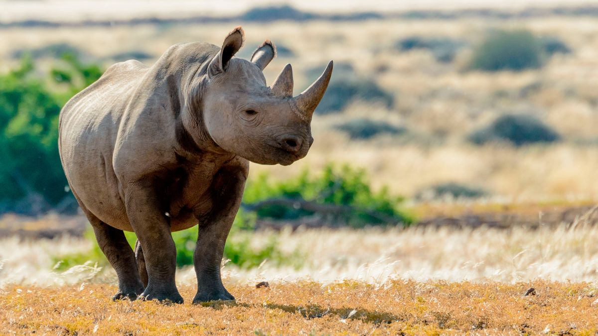 The urgent effort to save black rhinos from extinction