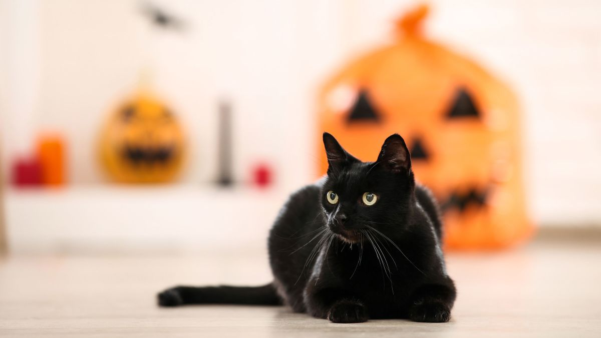 National Black Cat Day Here Are Five Facts To Know About Our Black Feline Friends Cnn
