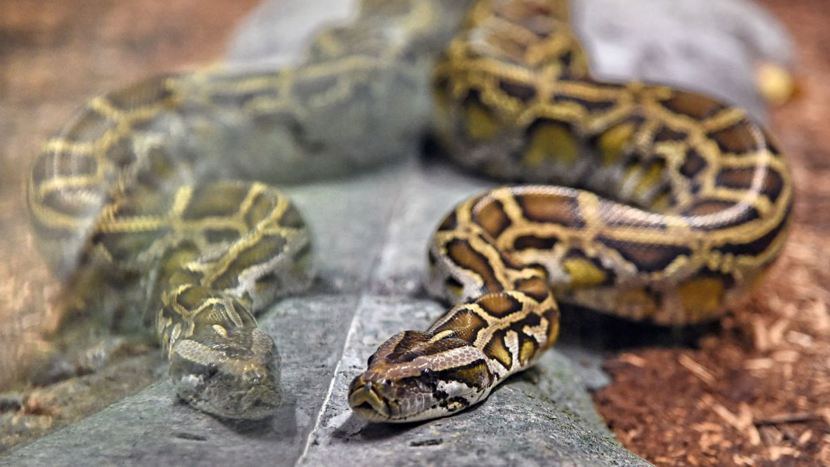 Woman Found Dead With A Python Wrapped Around Her Neck In A Home With 140 Snakes Cnn