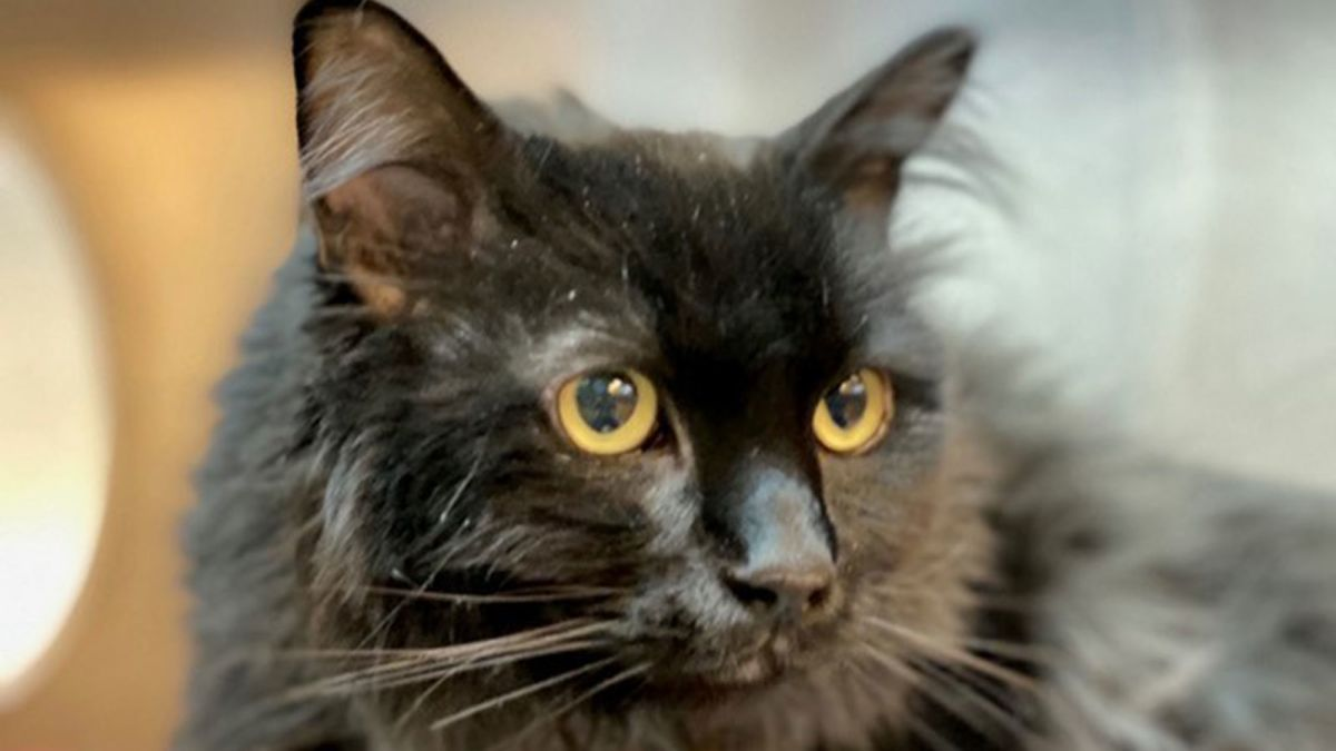 A cat missing for five years was found 1,200 miles away  He