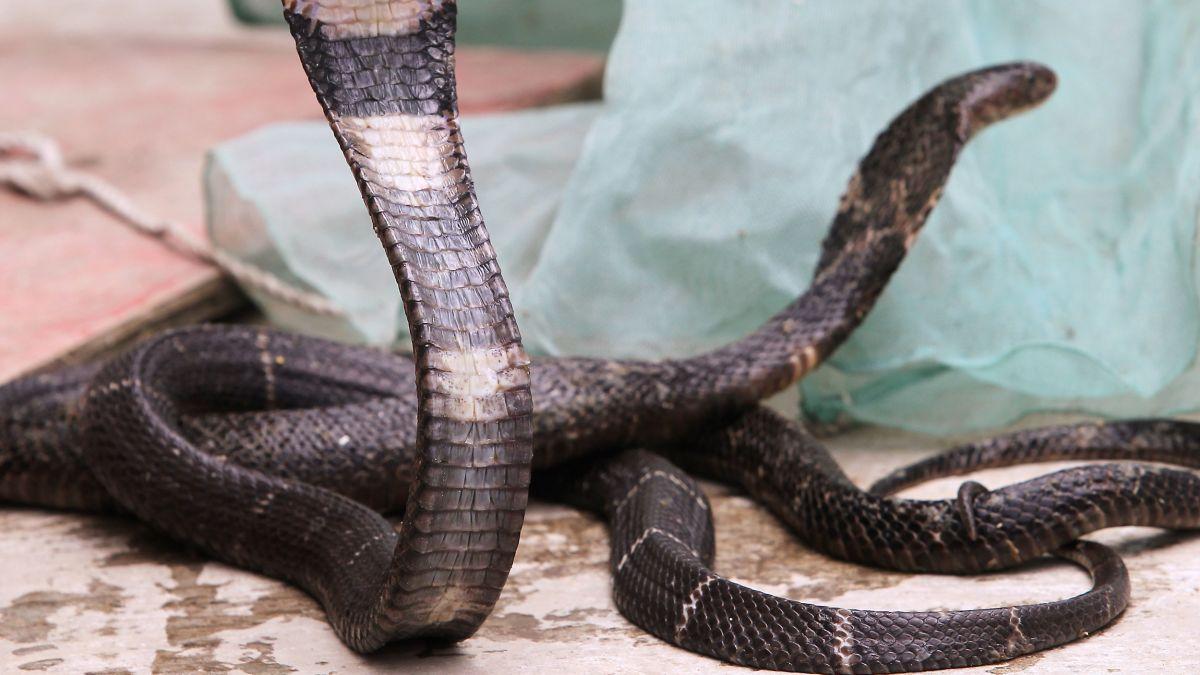 chinese coronavirus snake