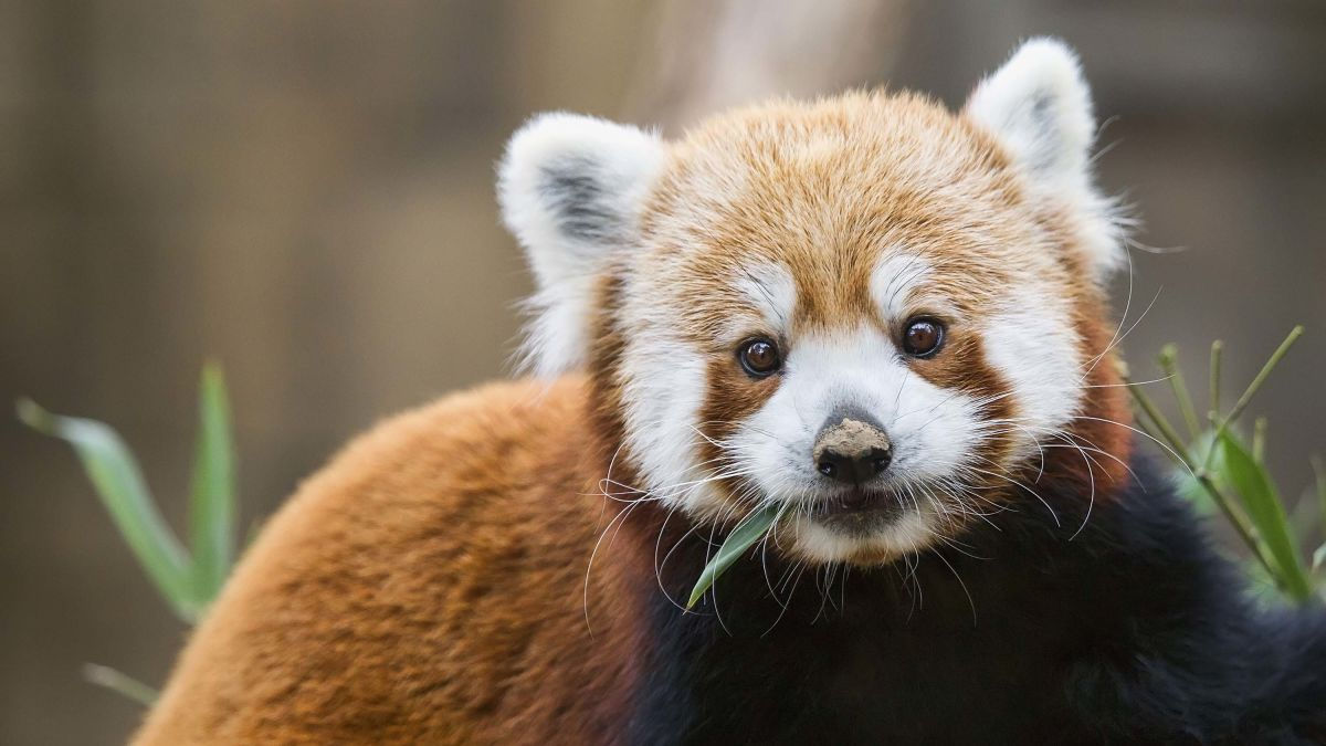 There are two species of red panda, not just one - CNN