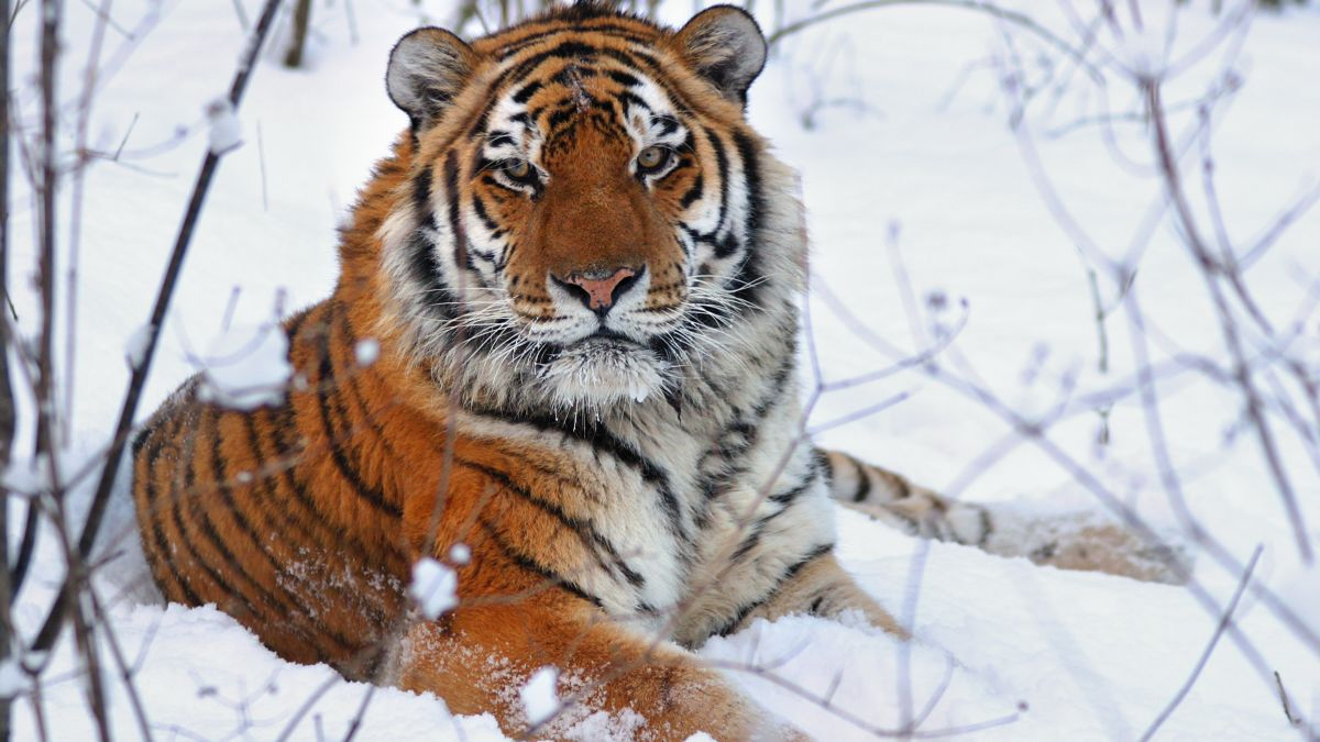 What Is The Real Tiger King Answer The Siberian Tiger Cnn