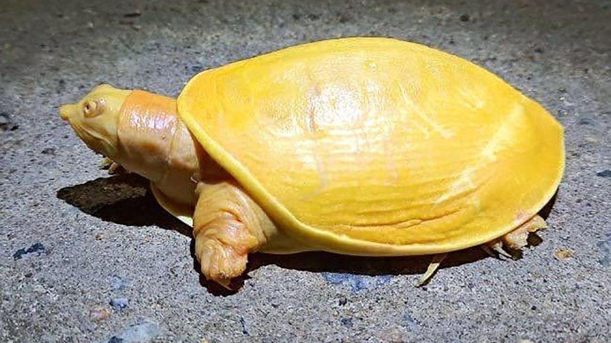 Kura-kura berwarna kuning belum lama ini menimbulkan kehebohan. Alasannya spesies tersebut biasanya memiliki warna hitam ataupun coklat.