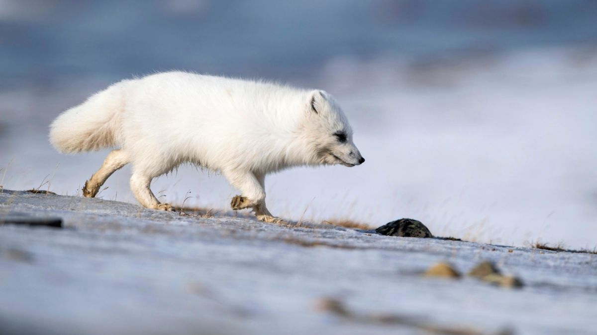 Arctic Foxes Scavenged Leftovers From Humans 42 000 Years Ago Cnn