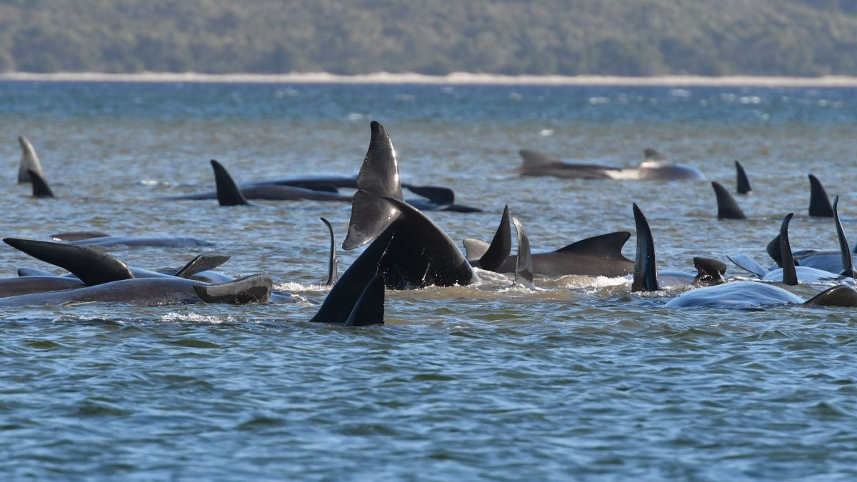 Australia pilot whales: Tasmania officials race to save hundreds of  stranded animals - CNN