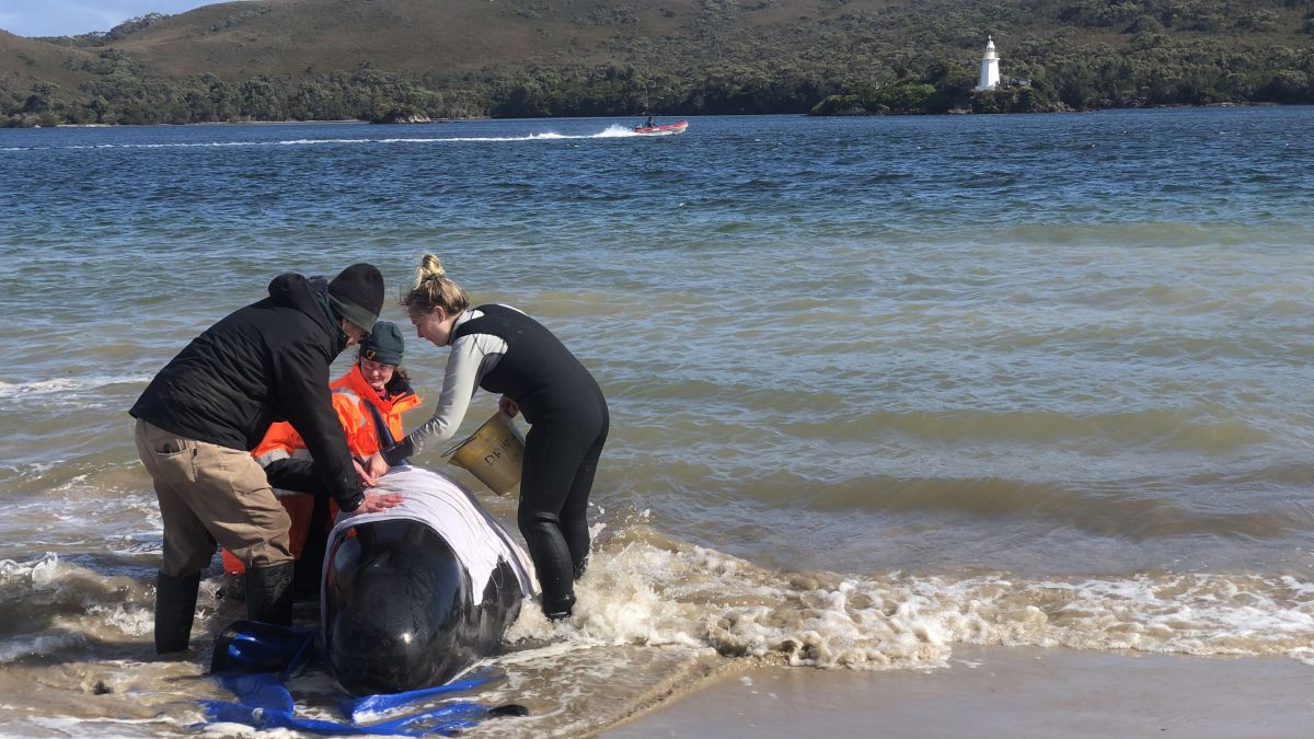Tasmania finds another 200 pilot whales that may all be dead in mass  stranding - CNN