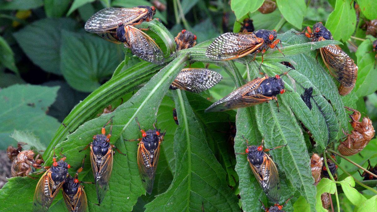 Cicadas 2021: Billions of Brood X bugs set to emerge in eastern US - CNN