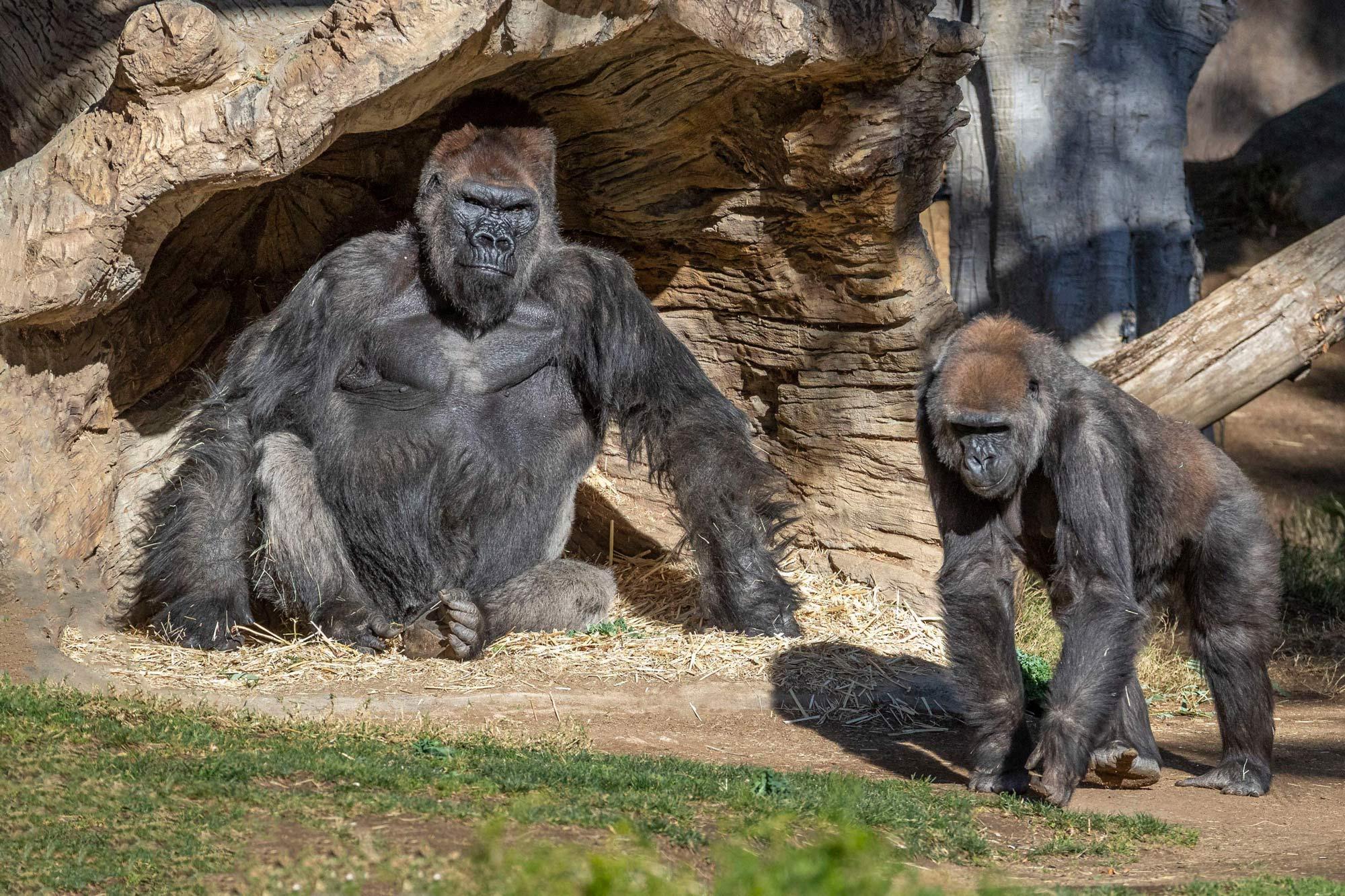 From Ken Bohn/San Diego Zoo