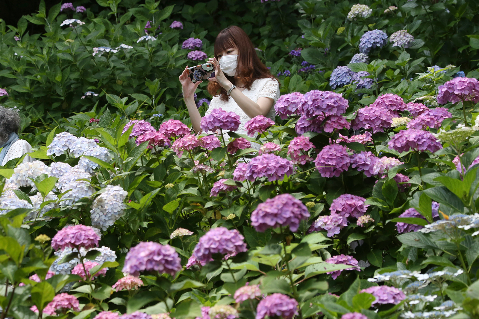 A woman wearing a face mask takes a photo of full bloomed hydrangea at Hasedera temple in Kamakura, near Tokyo, on Monday, June 15.